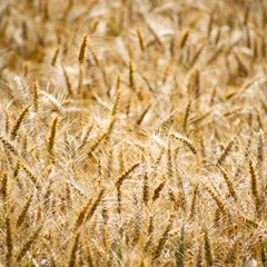 Wheat Field 5075775